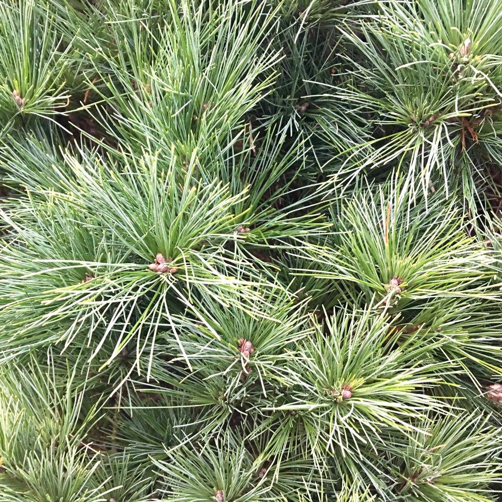 madeon23rd.com.kubota.pines.jpg