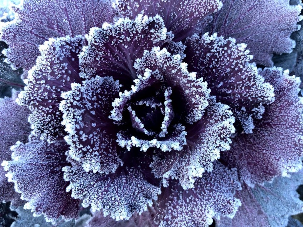 Frosted Kale.jpg