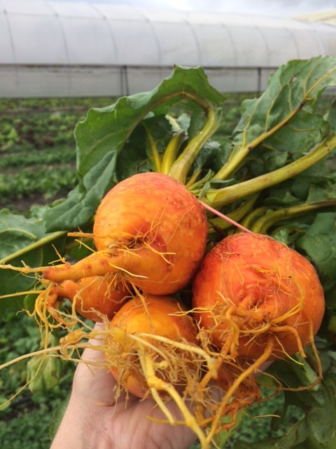First harvest of Golden Beets