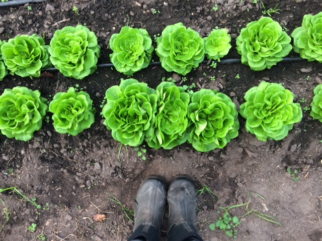 Big, beautiful heads of butterhead lettuce ready to harvest!