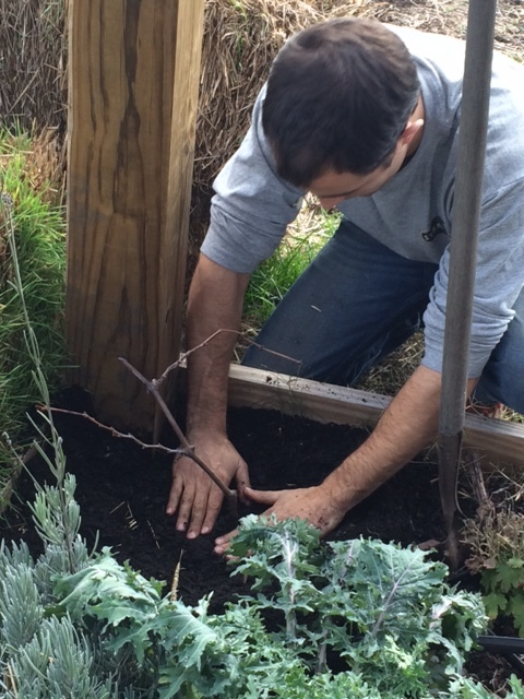 Eric McClam, Farm Manager, placing the cutting in the planter at the entrance of the Pavilion.