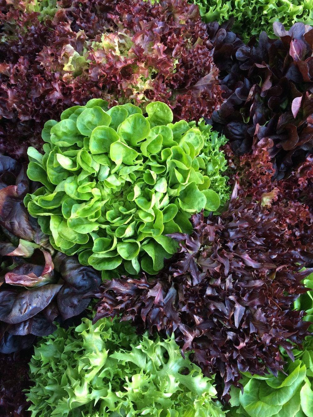 Salanova Lettuces
