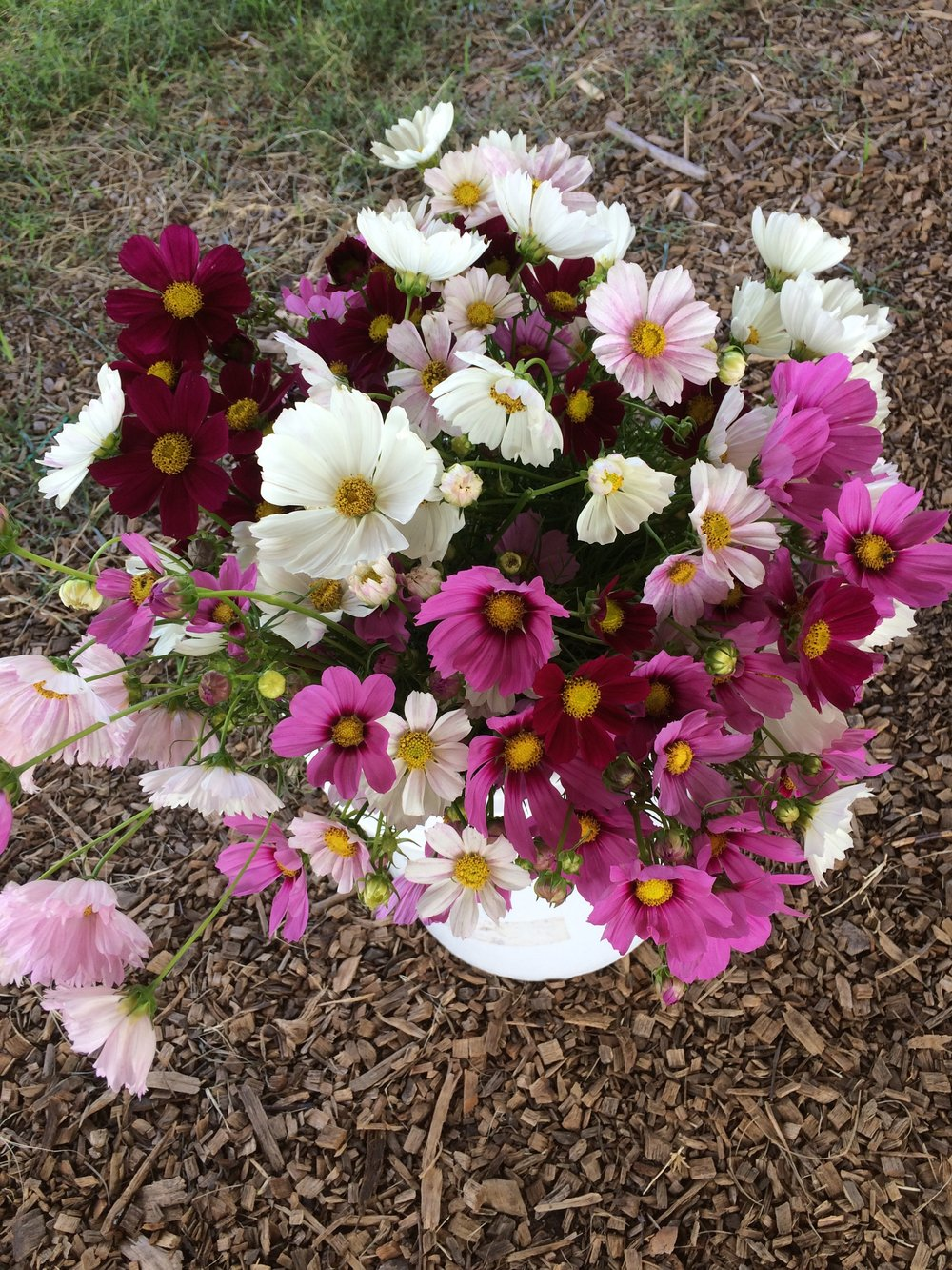 Cosmos wholesale.jpg