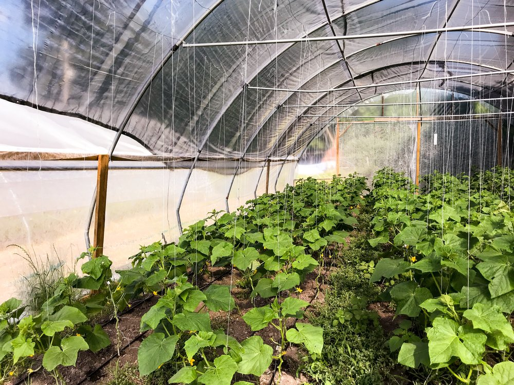 Cucumber plants in a high tunnel covered with shade cloth for sun protection
