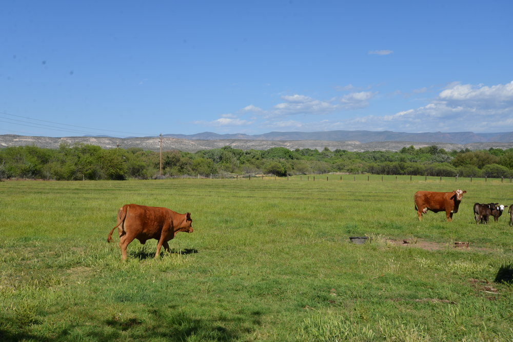 cows 7.JPG