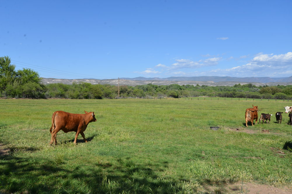 cows 8.JPG