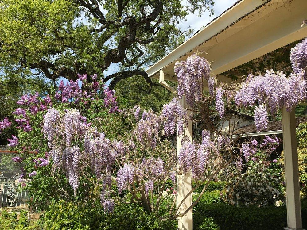 Wisteria & Lilacs
