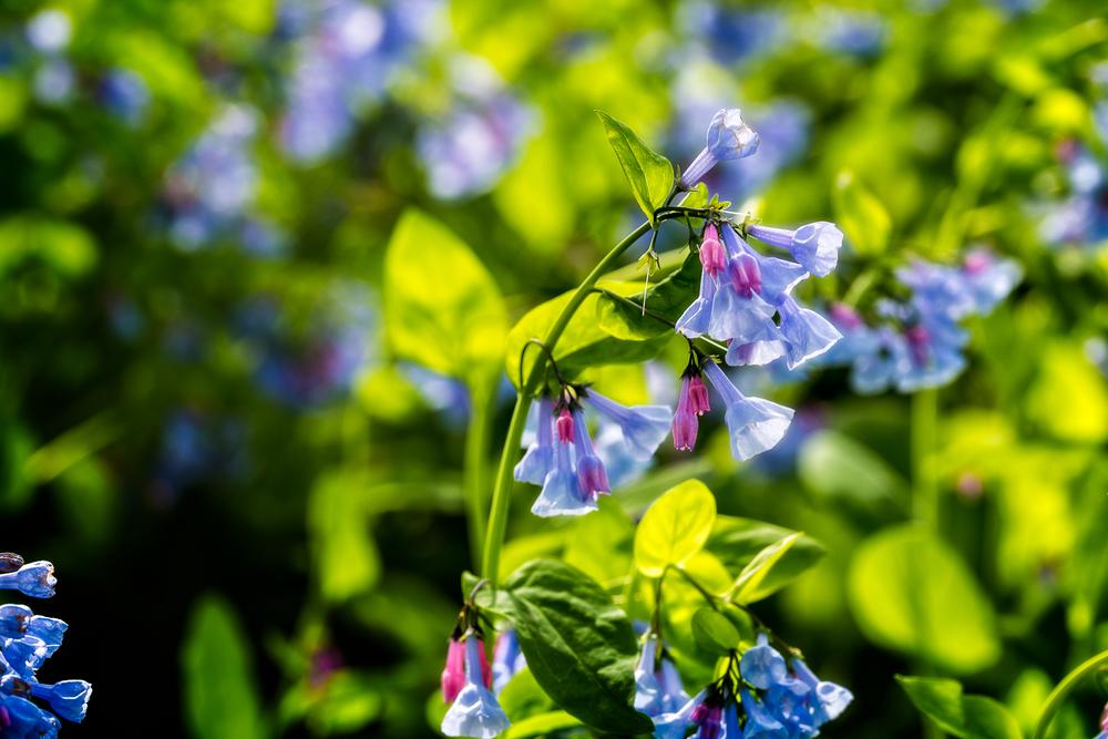 Bluebells-4.jpg