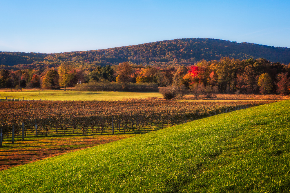 Just prior to sunset at a local vineyard in Virginia.