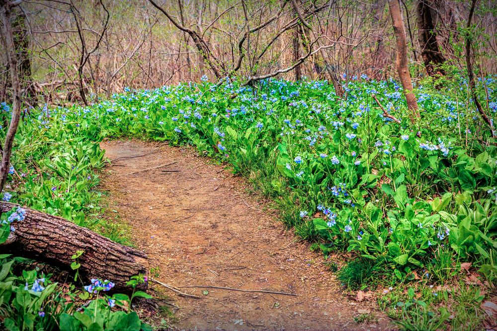 Bluebells, Bluebell path, Riverbend Park
