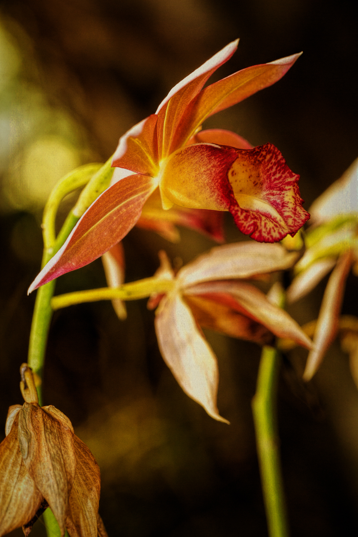orange orhcid