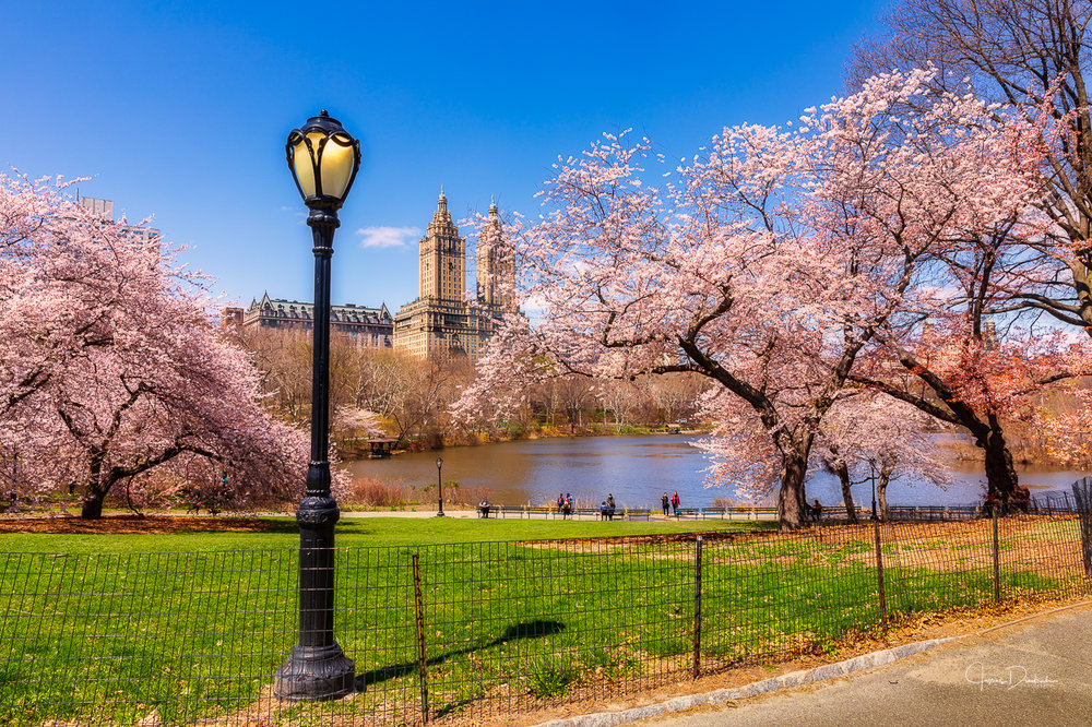 The cherry blossoms in Central Park.