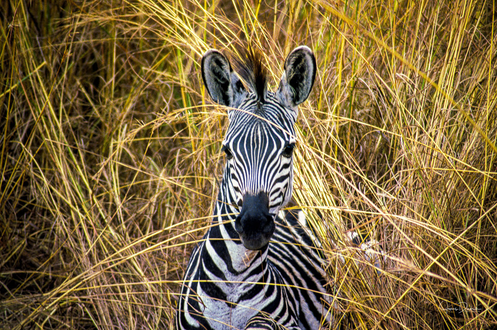 A zebra in the elephant grass.