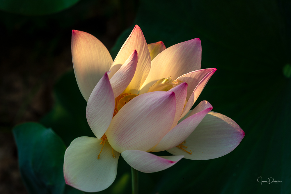 Here is the early morning sun illuminating a lotus flower