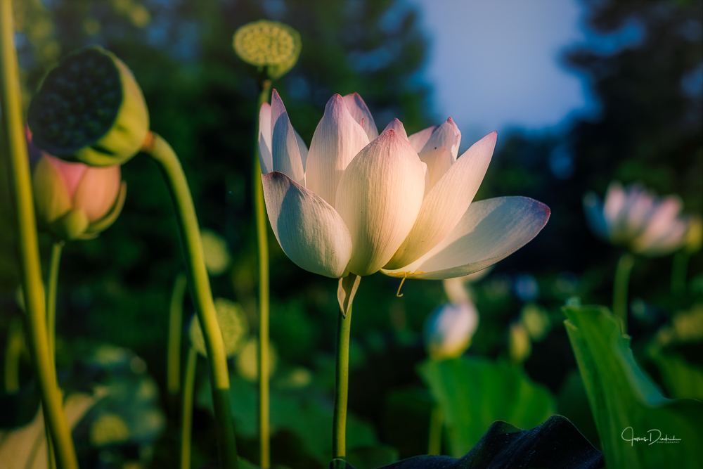 The lotus catching the morning light.