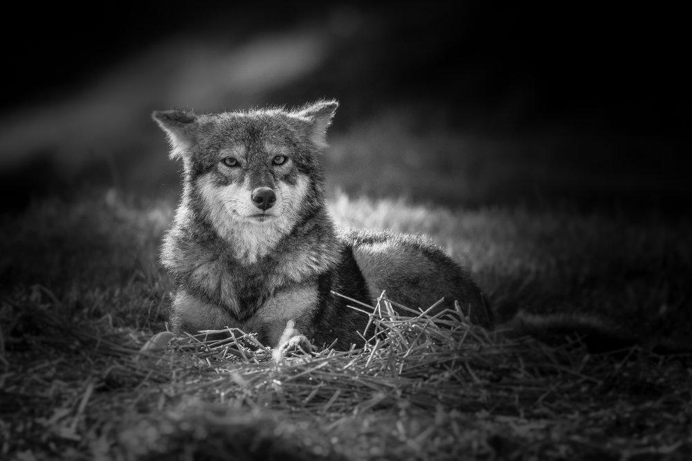 Coyote bw.jpg