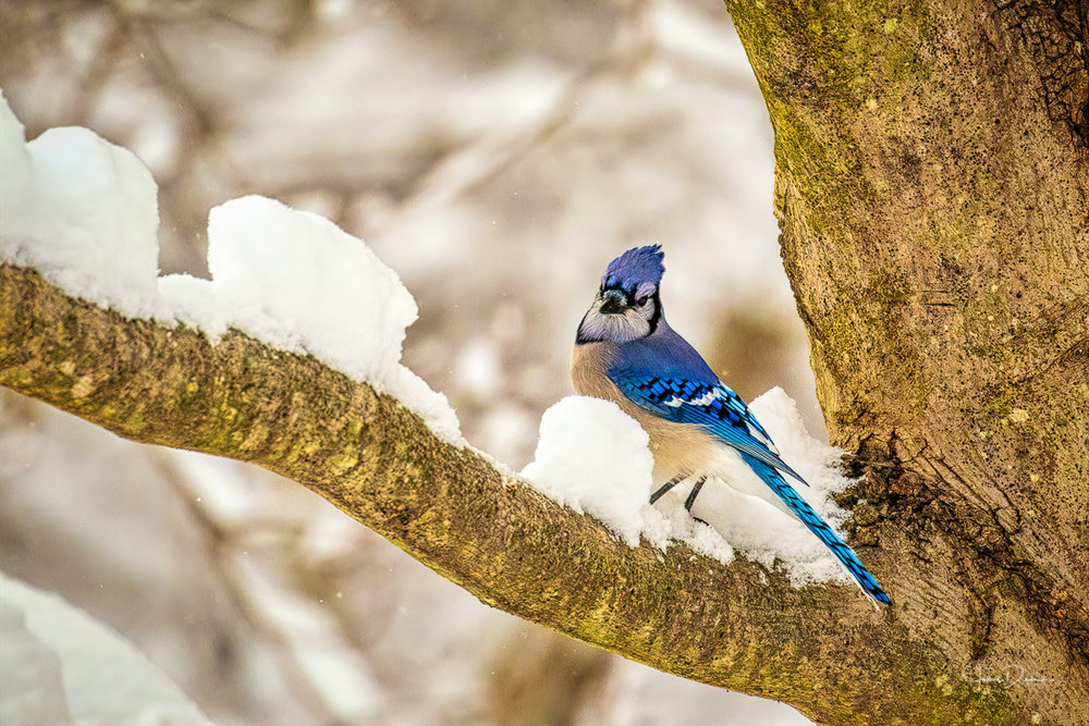 A blue jay waiting in line for some seeds.