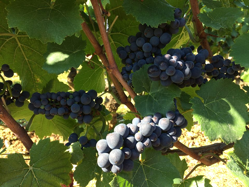 Pinot at Marc Roy in Gevrey-Chambertin - about a week away from harvest...