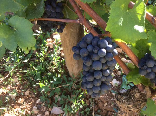 2015 Richebourg, on the vine at Domaine A-F Gros...