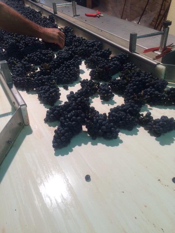 Richebourg on the sorting line at Domaine A-F Gros