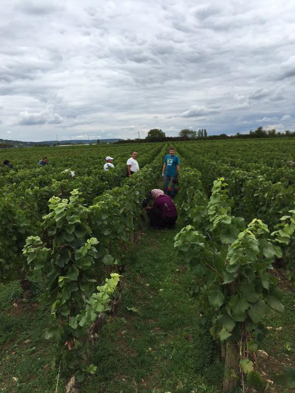 Harvest in the Bourgogne Rouge below Pommard
