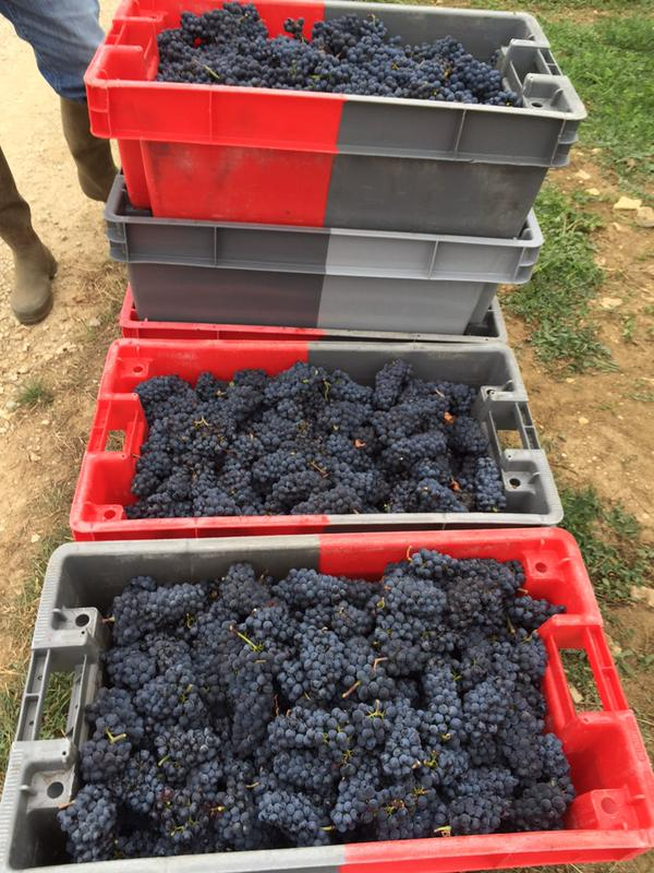 Beautiful Pinot in Volnay Fremiets at Domaine Huber-Verdereau
