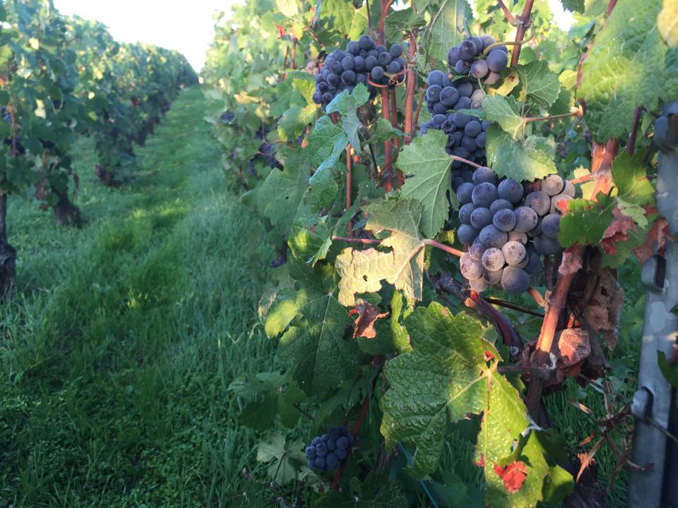 Pinot Noir, ripe for the picking at Champagne Sophie Cossy in Jouy-lès-Reims