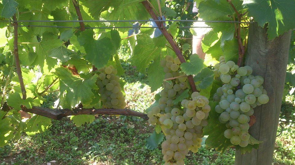 Meursault Vieilles Vignes looking good at Buisson-Charles