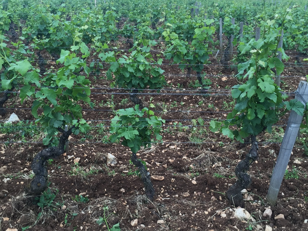 Vines at different stages of development in  Amoureuses  - some are 4 weeks behind the others...