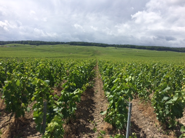Le Mesnil-sur-Öger -  for many it's the Montrachet of Champagne