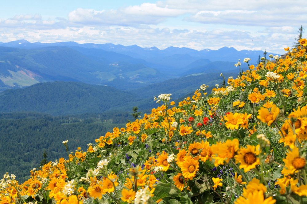 Welcome back to Oregon, Honey! While Scott was away, I hiked Dog Mountain to see the wild flowers! What a show! And the Lincoln High School a cappella group presented their end-of-year concert in our Caveau event space for an audience of 80. That was another great show. I ran the Starlight Run, a night-time costumed fun run that precedes the Starlight Parade. And next week, I'm going to French Boot Camp at the Alliance Française of Portland. I love summer in Oregon!!