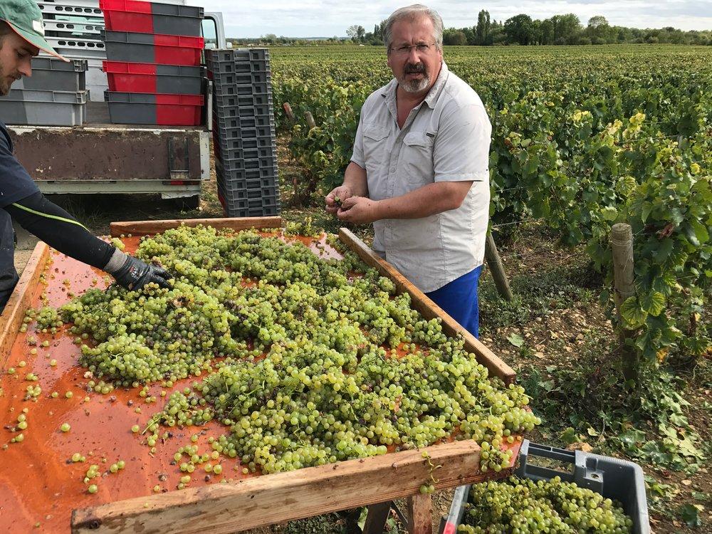 B-C vigneron Patrick Essa sorting his Meursault Millerans in the vineyard