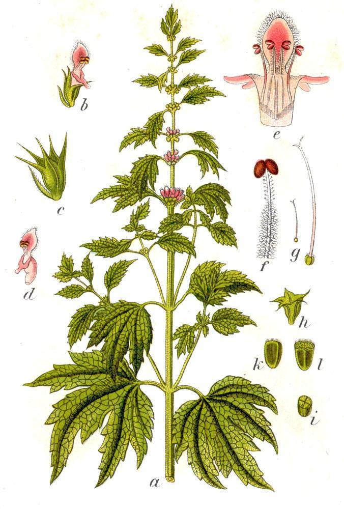 motherwort-leonurus-cardiaca-red-moon-herbs-5_1024x1024.jpg