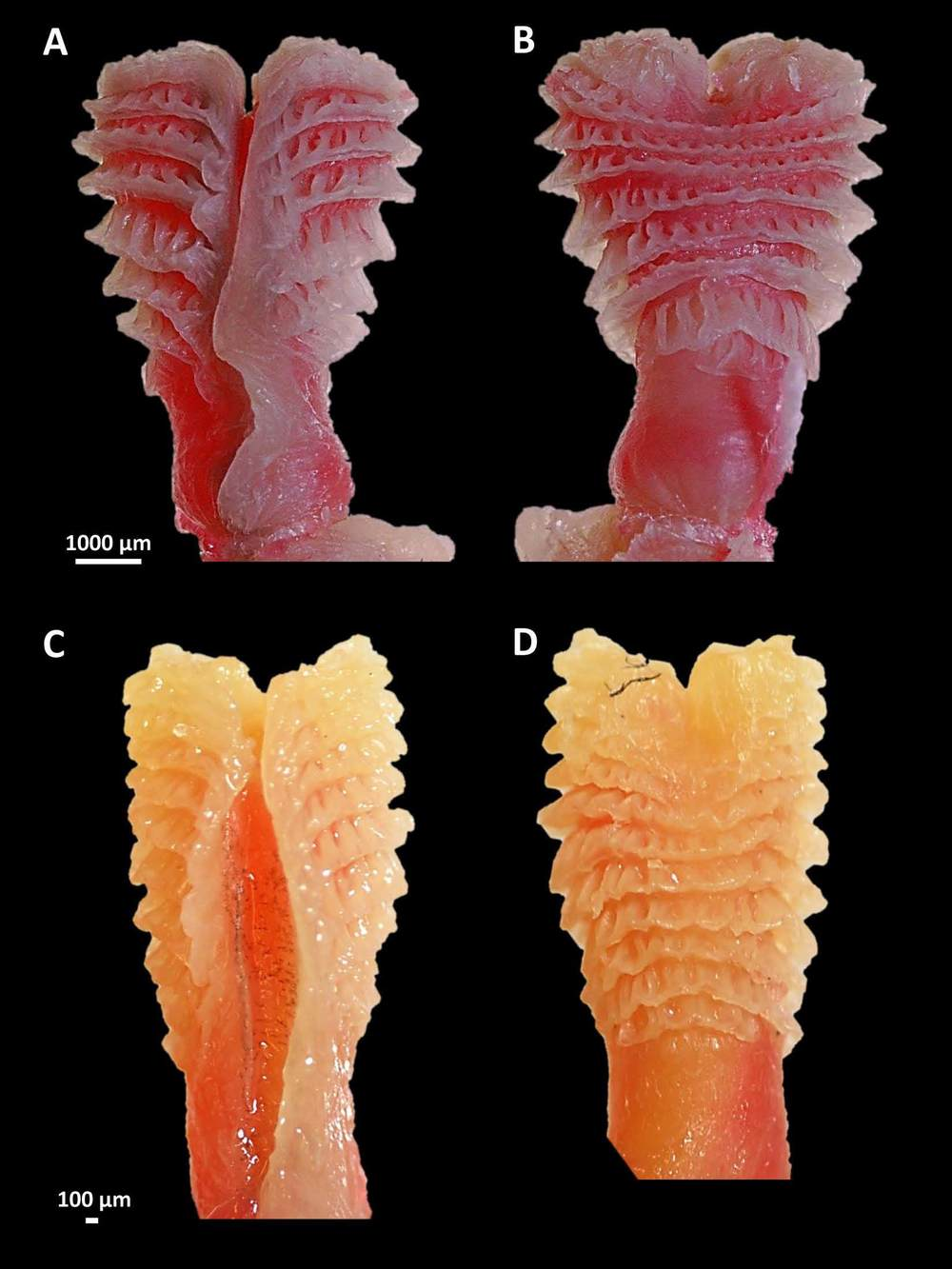Hemipenes from alligator lizards (genus  Elgaria )