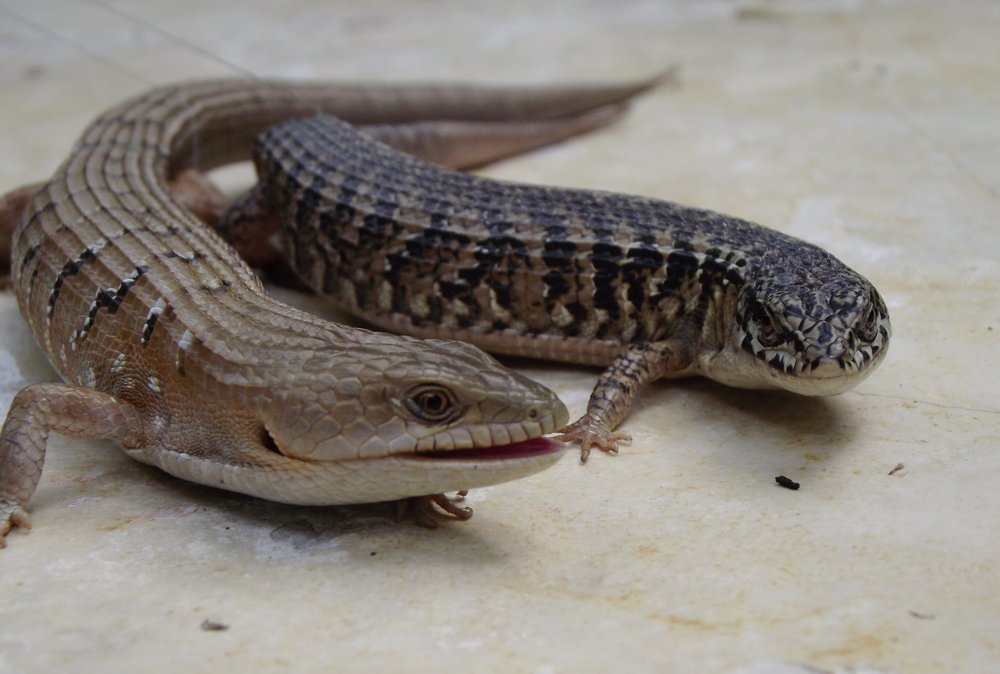 Right: Northern alligator lizard ( Elgaria coerulea ), Left: Southern alligator lizard ( E. multicarinata )