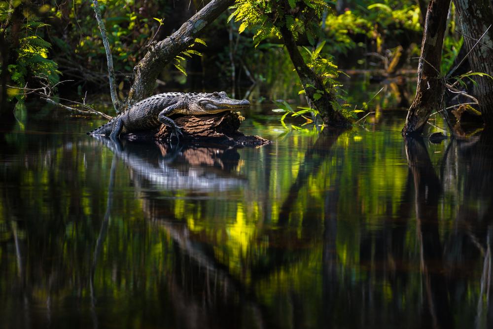 Gator Oasis