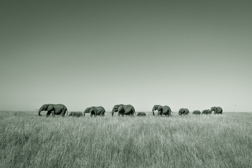 A herd of elephants walk in line towards a nearby watering hole