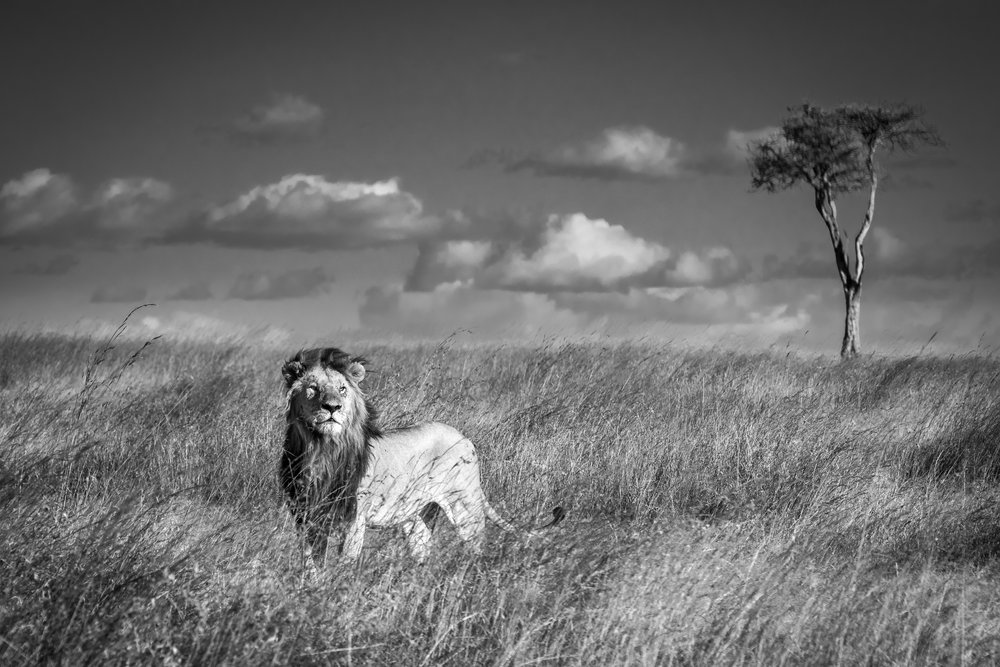 A male lion surveys the land in the Maasai Mara, Kenya