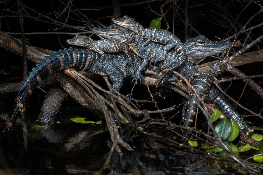 Everglades_012317.CVB_0468.jpg