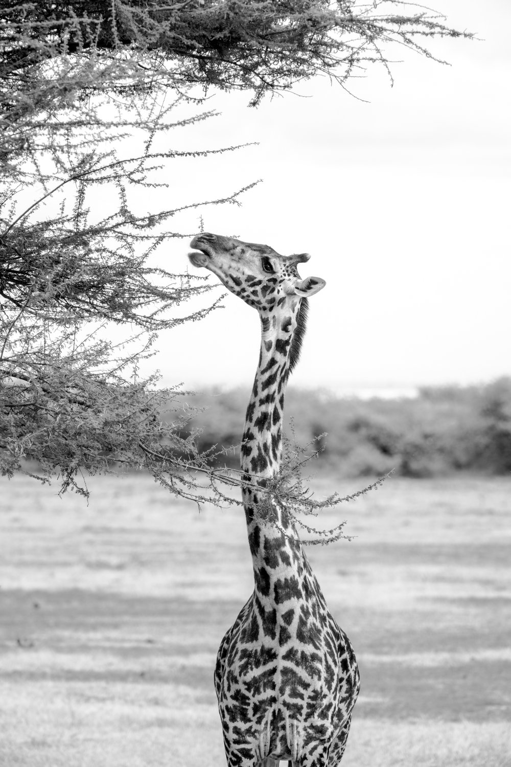 Giraffe Eating Acacia Tree.2500px.jpg