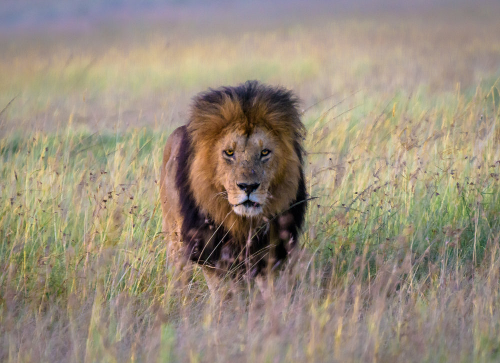 MasaiMara.D810.20150301-65.2500px.jpg