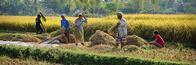 Rice Crop by Jos Dielis, on Flickr