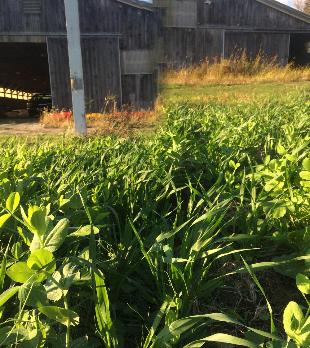 Pea, Oat, and Tillage Radish Cover Crop at our Newbury Farm