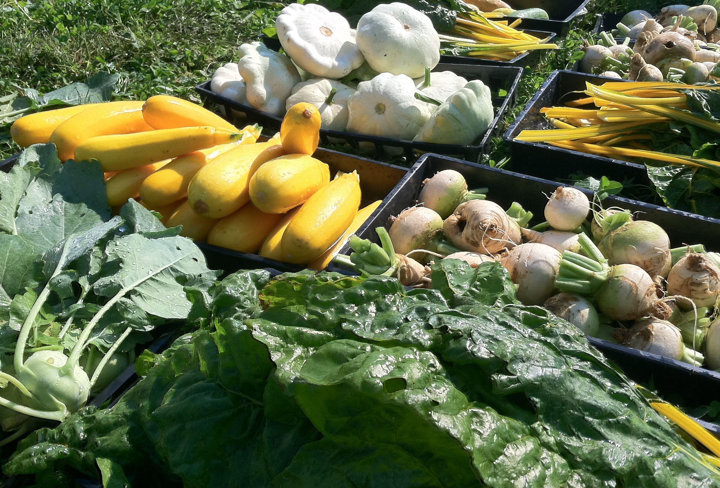 squash turnip