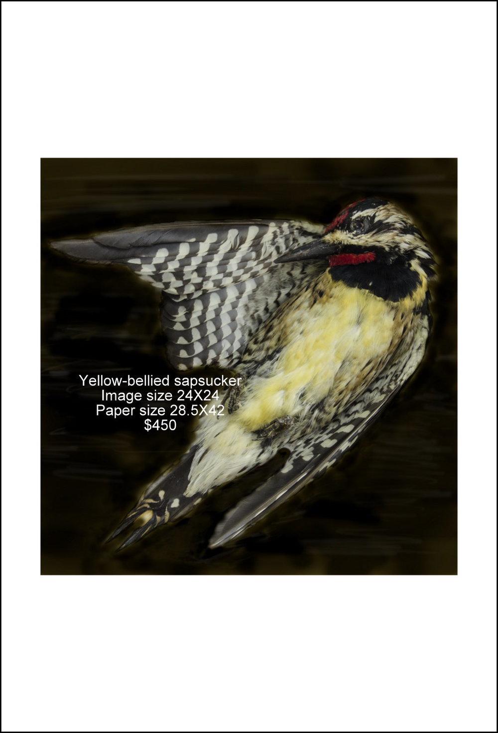 Yellow-bellied sapsucker.jpg