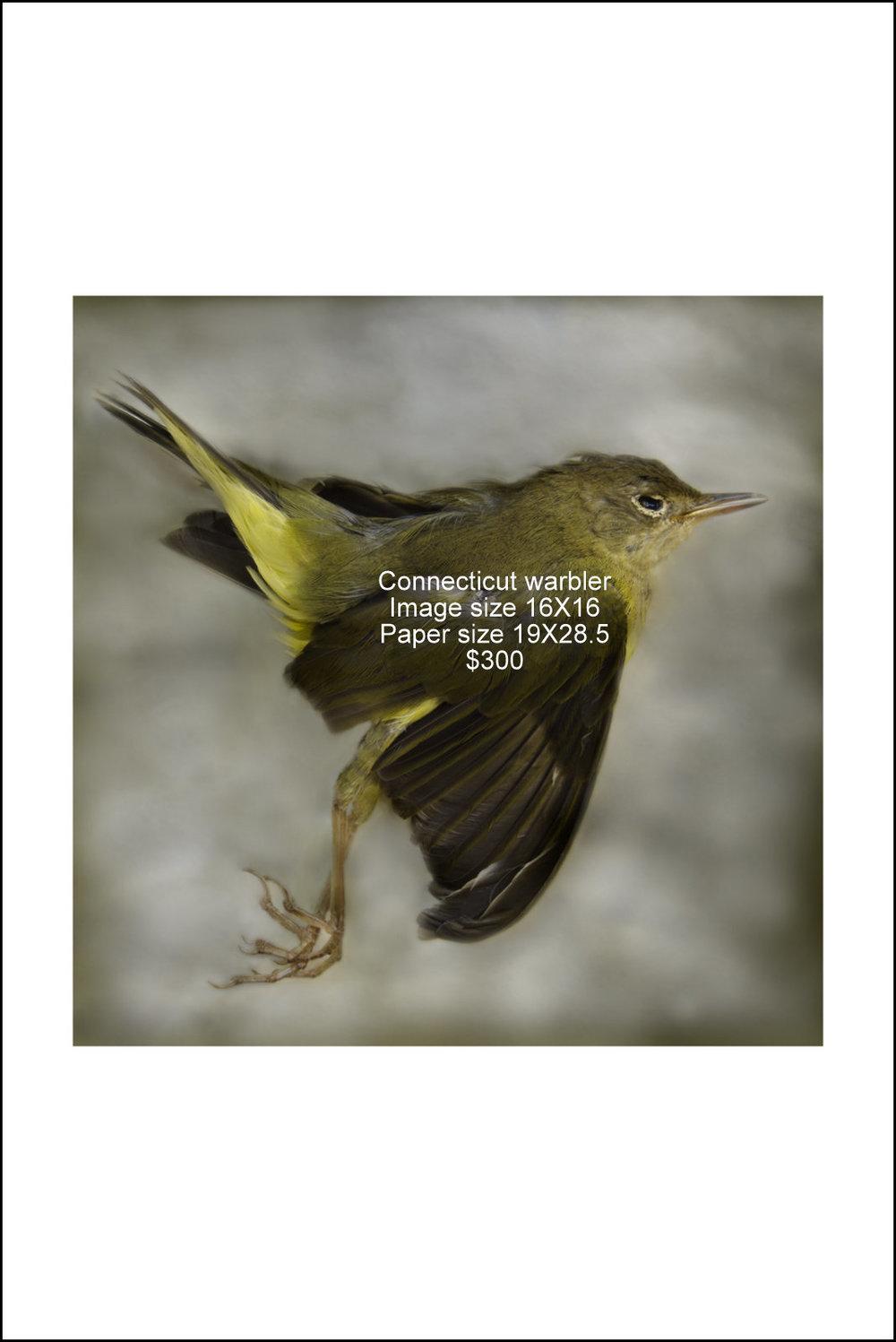 Connecticut warbler.jpg