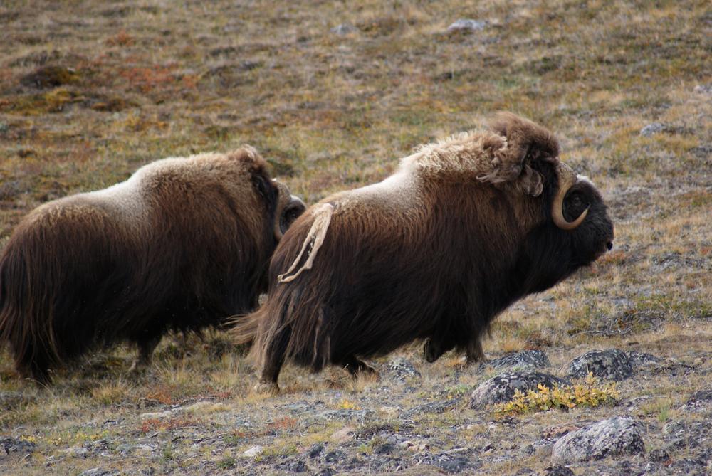 Two musk ox bulls.jpg