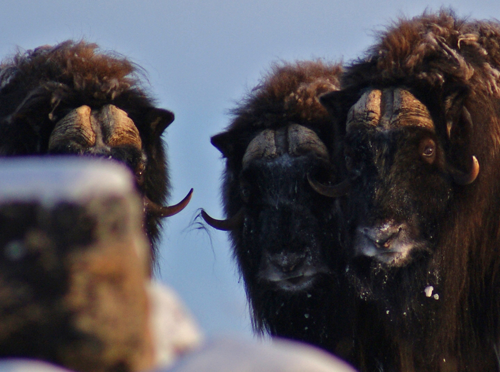 DSC05809 three heads musk ox.jpg