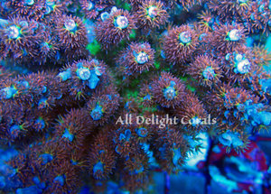 Sps Corals Alldelightcorals Com