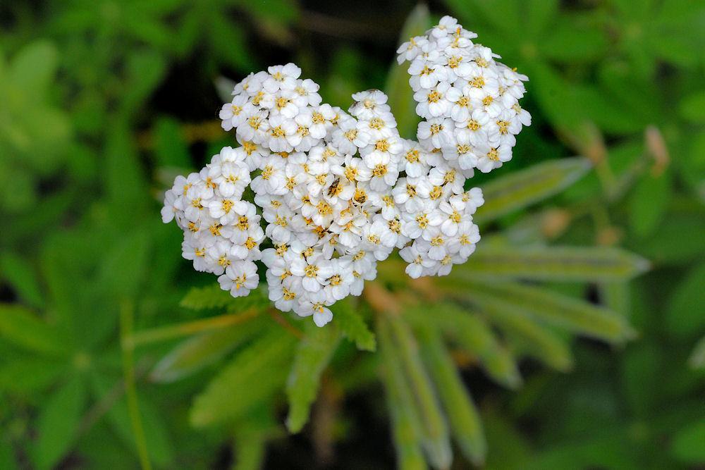 Yarrow (Common Yarrow) - Achillea millefolium    paulnoll.com